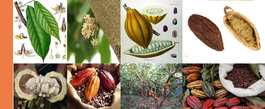 cacao semi fiori frutti Costa D'Avorio
