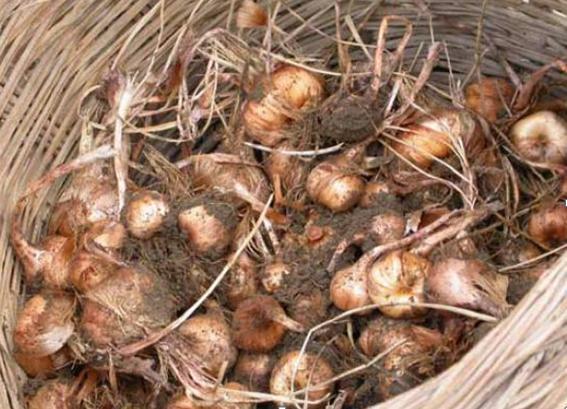 Bulbi di zafferano prima della pulizia Crocus Sativus