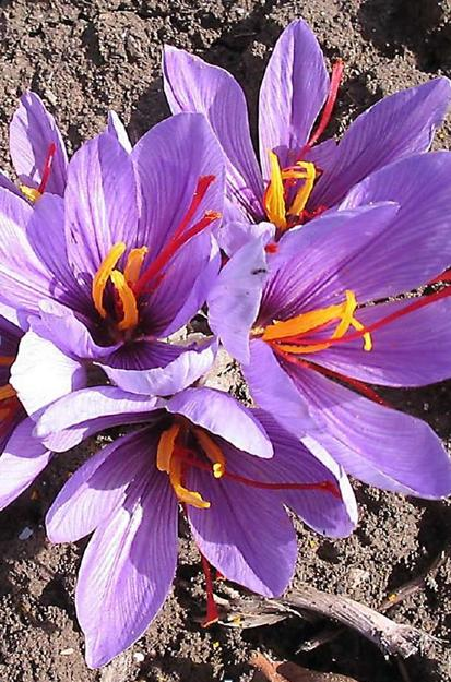 Crocus Sativus Saffron Flowers