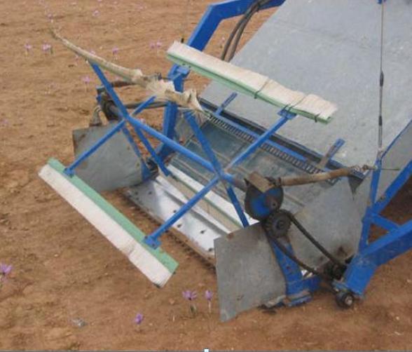 Fiori di zafferano raccolti tramite macchina Crocus Sativus