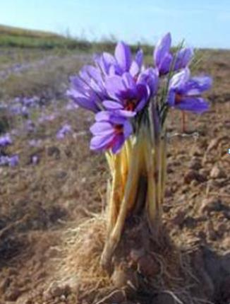 Pianta dello zafferano Crocus Sativus