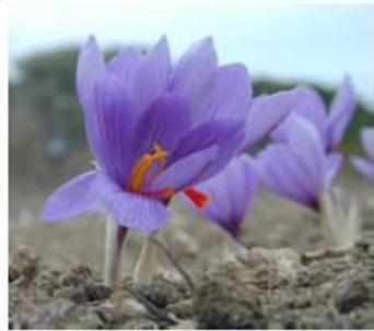 Saffron Flowers Crocus Sativus