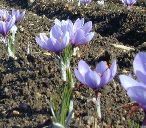 Saffron Flowers in Field Crocus Sativus