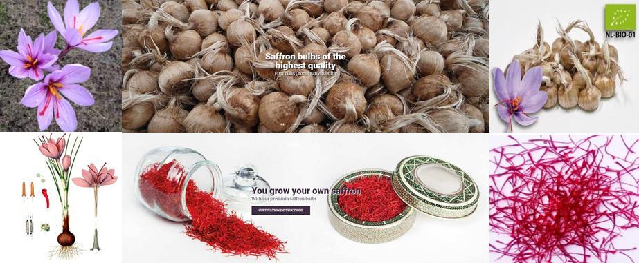 Sativus Crocus Saffron bulbs