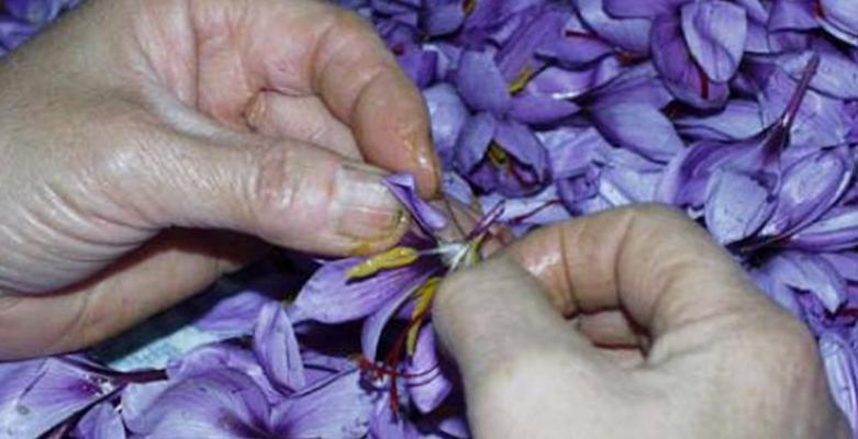 Separazione degli stimmi dai fiori aperti Crocus Sativus