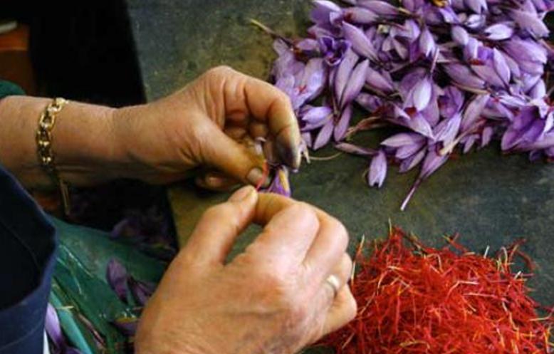Separazione degli stimmi dai fiori chiusi Crocus Sativus